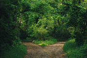 Dirt Roads Photos - Diverging Trails In A Woodland by Raymond Gehman