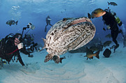 Osteichthyes Photos - Divers Photographing A Giant Grouper by Mathieu Meur