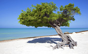 Divi Tree Of Aruba Print by David Letts