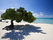 Antilles Prints - Divi Tree on the Beach Print by George Oze