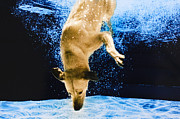Underwater Photos Framed Prints - Diving Dog 3 Framed Print by Jill Reger