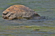 Diving Turtle Rock - Flathead River Middle Fork Mt Print by Christine Till