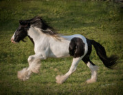 Gypsy Cob Framed Prints - Django and the Wind Framed Print by Terry Kirkland Cook
