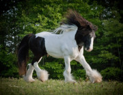 Gypsy Cob Framed Prints - Django Dancing Framed Print by Terry Kirkland Cook