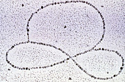 Transmission Prints - Dna Plasmid Print by Science Source
