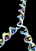 Conservative Posters - Dna Replication Poster by David Mack