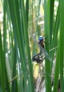 Dragonflies Mating Photos - Do Not Disturb by Donna Blackhall