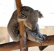 Koala Bear Art - Do Not Disturb... by Steve  Weihe