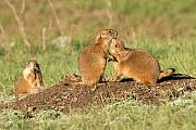 Prairie Dogs Prints - Do you HAVE to do that in public Print by Larry Ricker