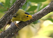 Yellow Warbler Photos - Do You Like My Hat? by Angie Vogel