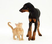 Doberman Pinscher Puppy Prints - Doberman And Kitten Print by Jane Burton