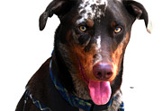 Doberman Framed Prints - Doberman Australian Shepherd Cattle Dog  Framed Print by Steven  Digman