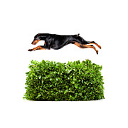 Doberman Pinscher Framed Prints - Doberman Jumping Over Hedge, Studio Shot Framed Print by Thomas Northcut
