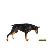 Doberman Pinscher Framed Prints - Doberman Looking At Patch Of Grass, Studio Shot Framed Print by Thomas Northcut