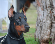 Dobermann Framed Prints - Doberman Pinscher  Framed Print by Amir Paz