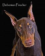 Doberman Pinscher Framed Prints - Doberman Pinscher Framed Print by Larry Linton