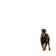 Doberman Pinscher Framed Prints - Doberman Running On White Background Framed Print by Thomas Northcut