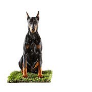 Doberman Pinscher Framed Prints - Doberman Sitting On Patch Of Grass Framed Print by Thomas Northcut