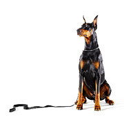 Doberman Pinscher Framed Prints - Doberman With Leash On White Background Framed Print by Thomas Northcut