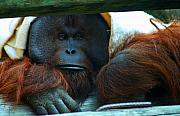 Orangutan Digital Art Metal Prints - Doc Metal Print by Nikie Wishnow