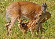 Nursing Deer Framed Prints - Doe and Fawn Framed Print by Jack Nevitt