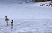 Isolated Digital Art Prints - Doe deers walking on ice Print by Mark Duffy
