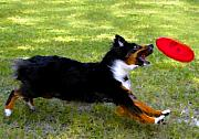 Disk Digital Art Posters - Dog and red frisbee Poster by David Lee Thompson