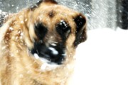 K9 Greeting Cards Photos - Dog Blizzard - German Shepherd by Angie McKenzie