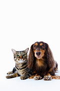 Two By Two Posters - Dog (dachshund) And Cat (japanese Cat) On White Background Poster by Ultra.f