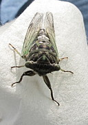 B Rossitto - Dog Day Cicada Img 1