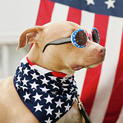 Democracy Framed Prints - Dog Dressed In American Flag Neckerchief And Sunglasses Framed Print by Hill Street Studios/Erik Isakson
