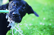 One Animal Posters - Dog Drinking From A Water Hose Poster by Crissy Kight / www.dearcrissy.com