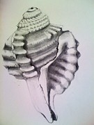 Seashell Drawings Metal Prints - Dog Eared Triton Metal Print by Barbara Richert