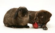 Chocolate Lab Prints - Dog Eating Apple With Rabbit Print by Jane Burton