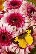 Gerbera Art - Dog Face Butterfly On Pink Mums by Garry Gay