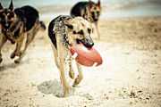 Animal Sport Prints - Dog Holding Ball In Mouth Print by R. Brandon Harris