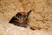 Lazy Dog Originals - Dog in Haystack by Ambar Shante