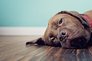 Y120907 Art - Dog Lazing On Wood Floor With Blue Background by Purple Turtle Photography