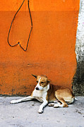 Pavement Photo Prints - Dog near colorful wall in Mexican village Print by Elena Elisseeva