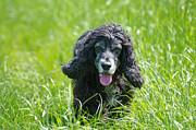 Dog On The Grass Print by Mats Silvan