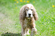 Dog Walking Photo Prints - Dog on the green field Print by Mats Silvan