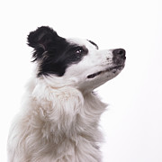 White Dog Framed Prints - Dog On White Background Framed Print by Dougal Waters