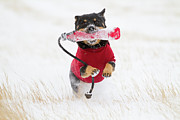 Toy Animals Prints - Dog Playing In Snow Print by Paws on the Run Photography