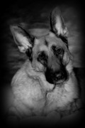 Shepherds Posters - Dog Portrait Poster by Angie McKenzie