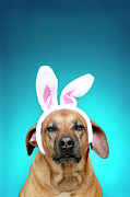 Attitude Photos - Dog Portrait Wearing Easter Bunny Ears by Jade Brookbank