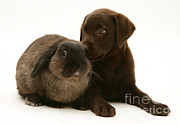 Chocolate Lab Framed Prints - Dog Pup With Rabbit Framed Print by Jane Burton