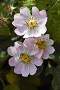Angiosperms Art - Dog Rose (rosa Canina) by Dr Keith Wheeler