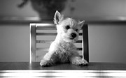 Monochrome Framed Prints - Dog sitting on the table Framed Print by Sumit Mehndiratta