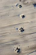 Dog Prints Photos - Dog Tracks In The Sand At Carmel Beach by Charles Kogod