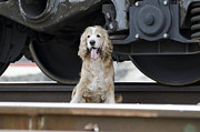 Wagon Train Framed Prints - Dog under a train wagon Framed Print by Mats Silvan